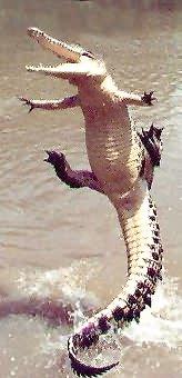 �������� ����� ����� crocosauteur.jpg
